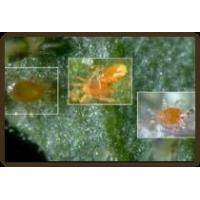 Quality The Pest: Spider Mites wholesale