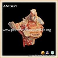 Quality Model of facial nerve and blood vessel free 3d human anatomy models wholesale