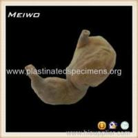 Best human stomach shape specimens wholesale